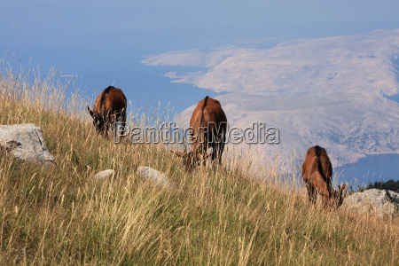 goat bay cornets croatia bergziegen wildziege