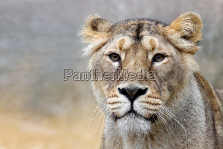 el leOn panthera leo