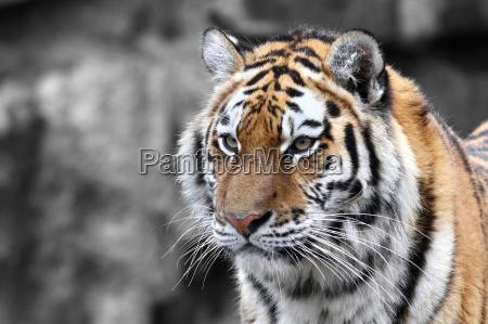 panthera tigris el tigre