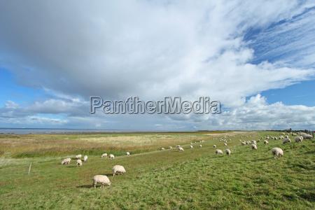 ovejas en un dique en el