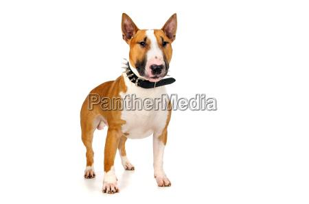 animal toro poder perro cria raza