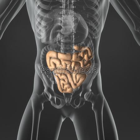 intestino pequenyo