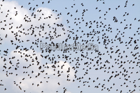 enjambre de aves stare