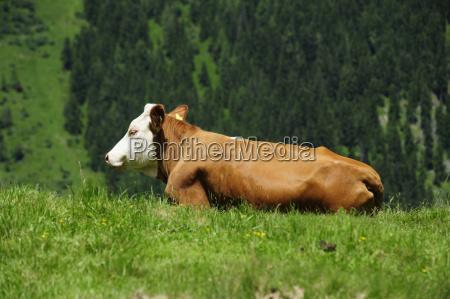 vaca bovino alpe sauce