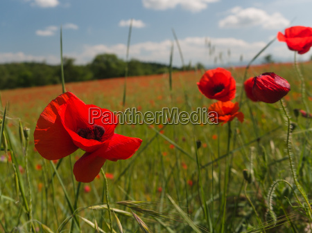 close up of brightly colored poppy