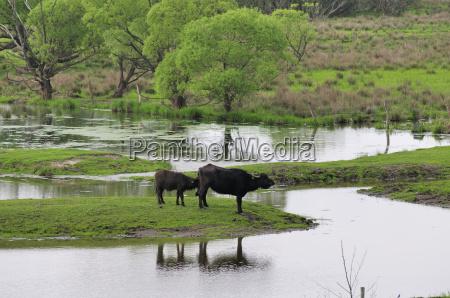 biotopo bovino ganado bufalo agua de