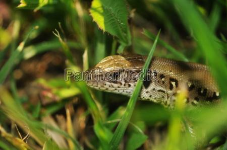 lagarto reptil pagina prado hierba cesped