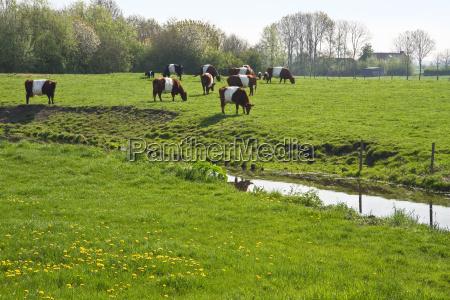 dutch belted or lakenvelder cows grazing