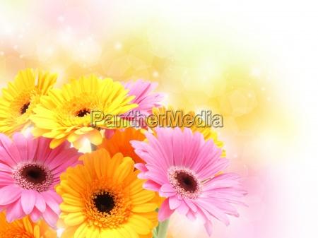 margaritas gerbera en colores pastel brillante