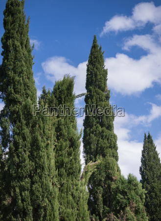 cypress trees against a blue sky