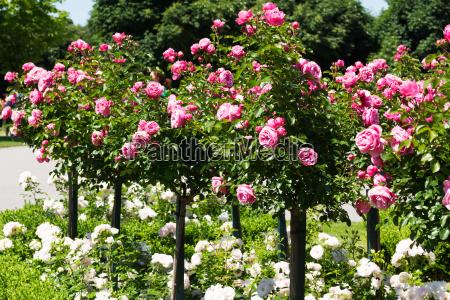 palo de rosa con rosas rosas