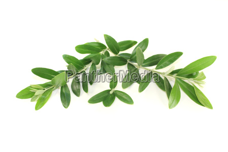 green olive branches