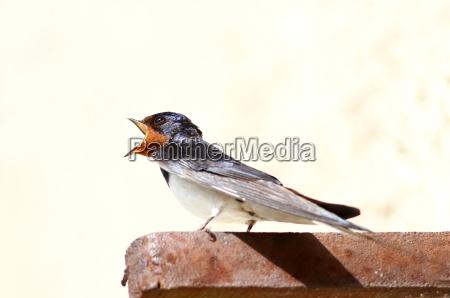 hirundinidae la golondrina