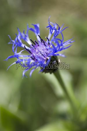 centaurea alpes centaurea montana