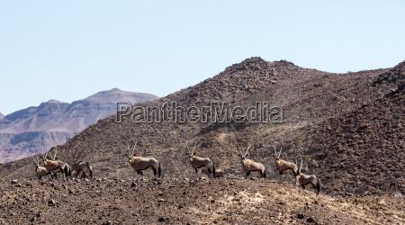 desierto africa namibia fauna herbivoro