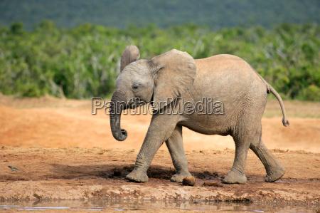 mamifero africa elefante fauna sudafrica africano