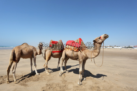 camels on the beach in asilah