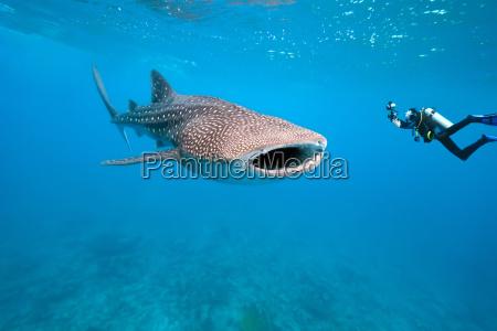 azul maldivas tiburon ballena buceo buzo