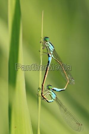 azurjungfer during mating