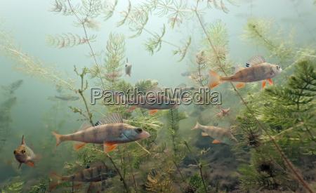 pescado submarino fauna de agua dulce