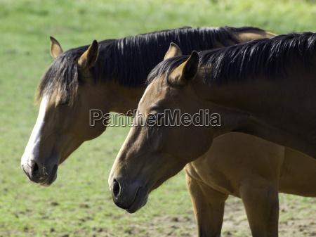 caballos en muenster
