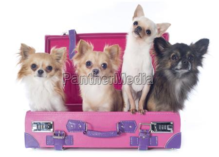 chihuahuas, en, la, maleta - 10007214