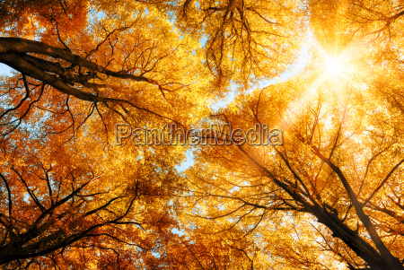 the autumn sun shines through treetops