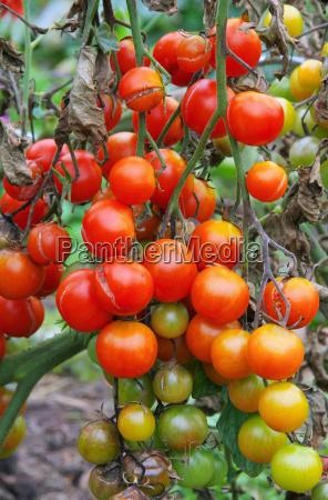 tomate, brown, faeule, -, tomate, late - 10092772