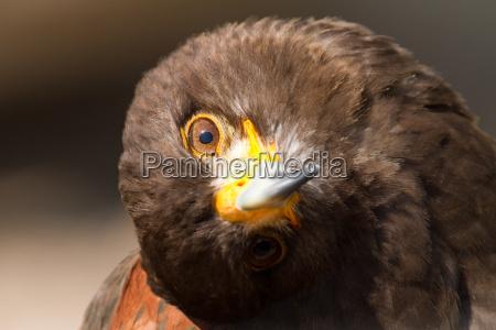 animal pajaro aguila halcon naturaleza cabeza