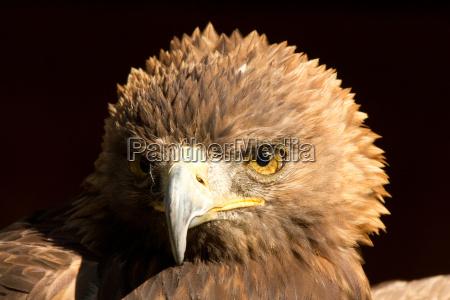 Águila - 10099514