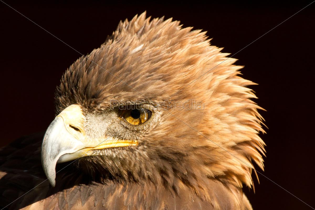 águila - 10099518