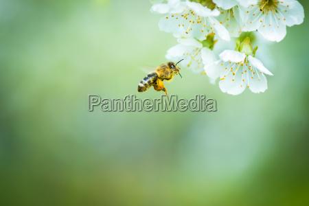 la miel de abeja disfrutando florecimiento