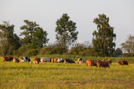 los animales pasto las vacas lecheras