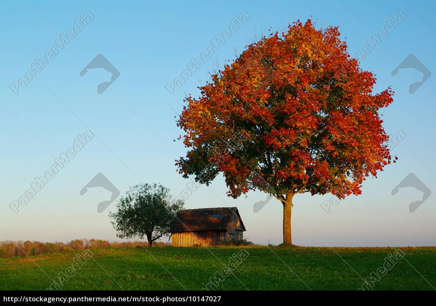 Rbol de arce en el paisaje de oto o foto de archivo - Arce arbol variedades ...