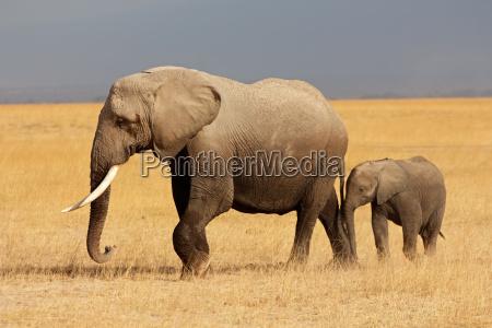 animal mamifero salvaje africa elefante kenia
