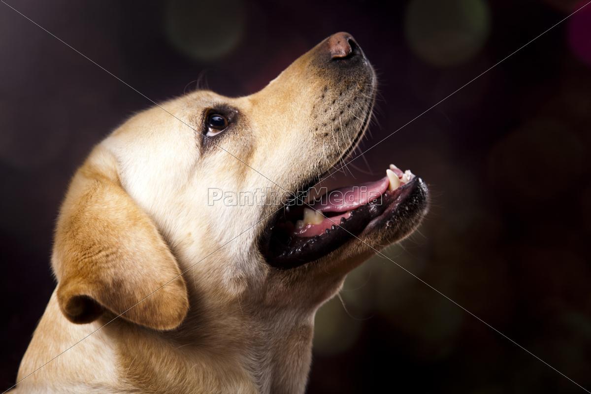 perro, labrador, retriever, - 10328597