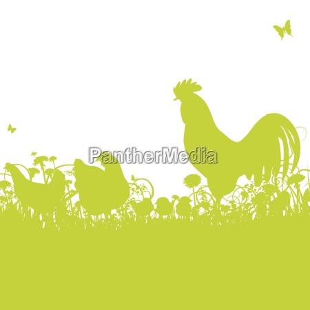 agricultura granja pollo resbalon pollos gallo