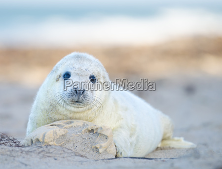 grey seals baby at beach
