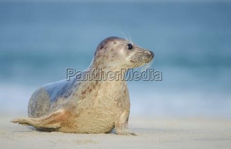sello en la costa del mar