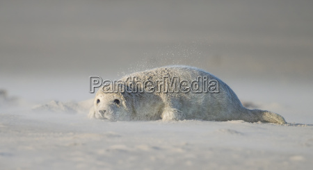 seal pup in sandstorm