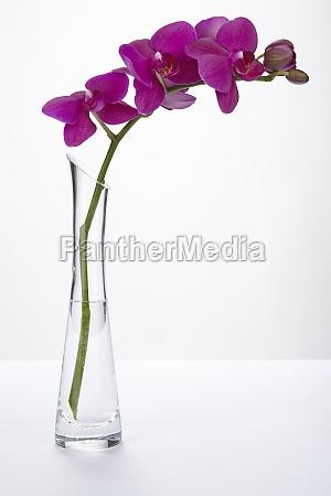orquidea purpura en un florero