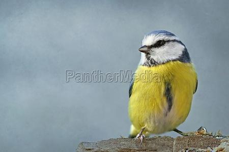 el azul cyanistes caeruleus syn parus