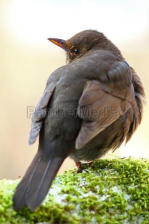 pajaro los animales aves mirlo pajaro