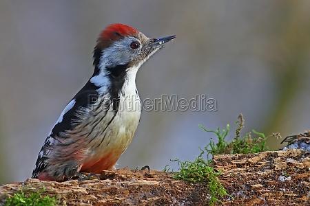 woodpecker dendrocopos major coloreado