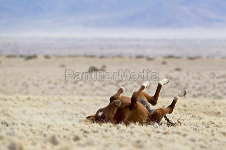 desierto caballo animal parque nacional africa