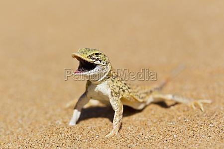 lagarto con hocico de pala meroles