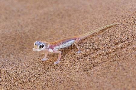namib duna gecko palmato gecko o