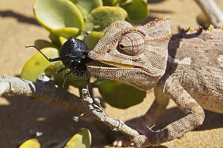 namaqua chameleon chamaeleo namaquensis con un