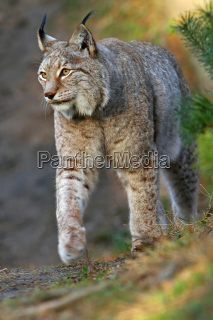 animal los gatos gato lince