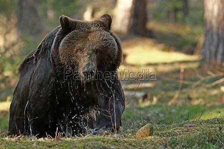 el grizzly ursus arctos horribilis